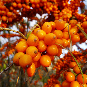 Leuchtend orangene Sanddornbeeren am Zweig